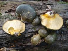 Вёшенка осенняя (Panellus serotinus)