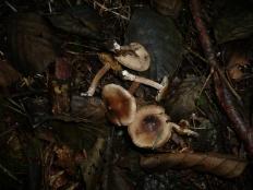 Волоконница острая (Inocybe acuta)