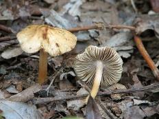 Волоконница волокнистая (Inocybe fastigiata)