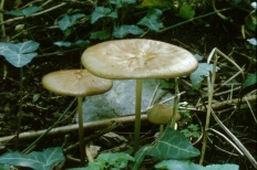 Удемансиелла корневая (Xerula radicata)
