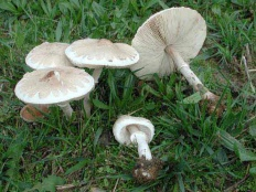 Зонтик белый (Macrolepiota excoriata)