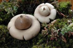 Звездовик бахромчатый (Geastrum fimbriatum)