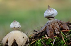 Звездовик полосатый (Geastrum striatum)