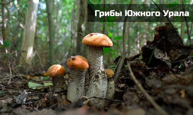 Съедобные грибы Южного Урала