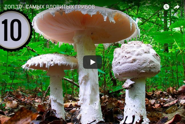 Самые ядовитые грибы