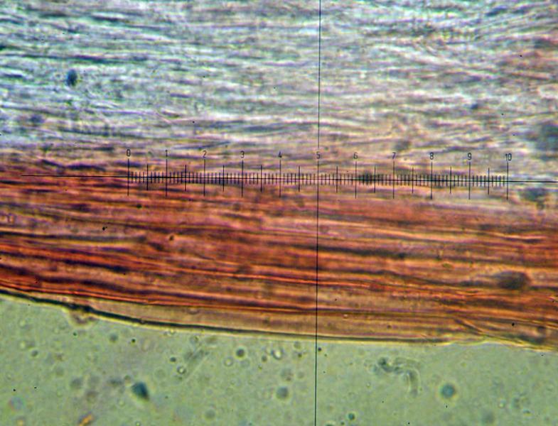 Деликатула маленькая - Delicatula integrella