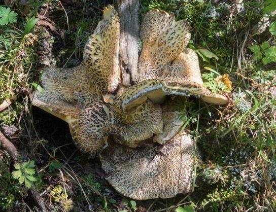 Альбатреллус тянь-шаньский