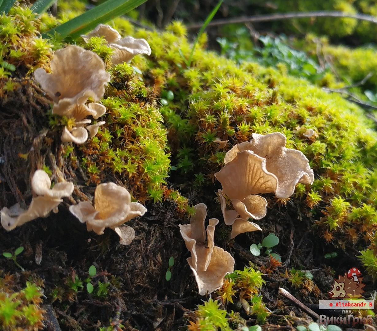 Arrhenia spathulata - Аррения лопатчатая