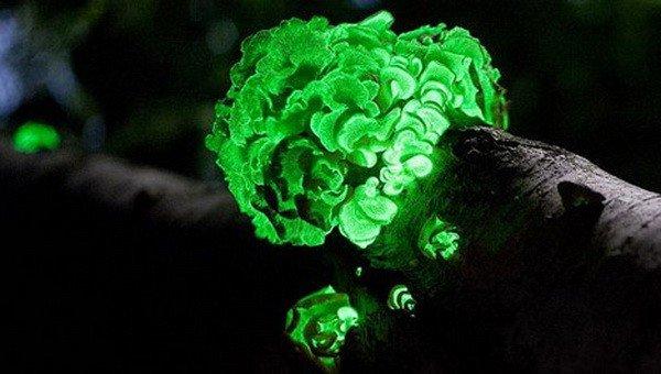 Биолюминесцентные грибы