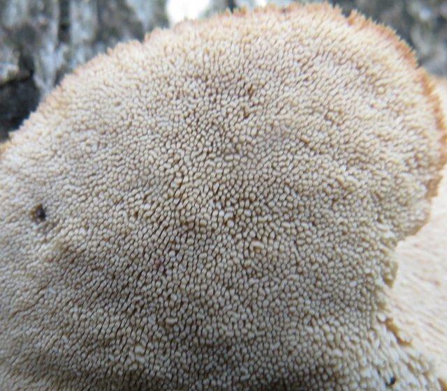 Климакодон красивейший (Climacodon pulcherrimus)