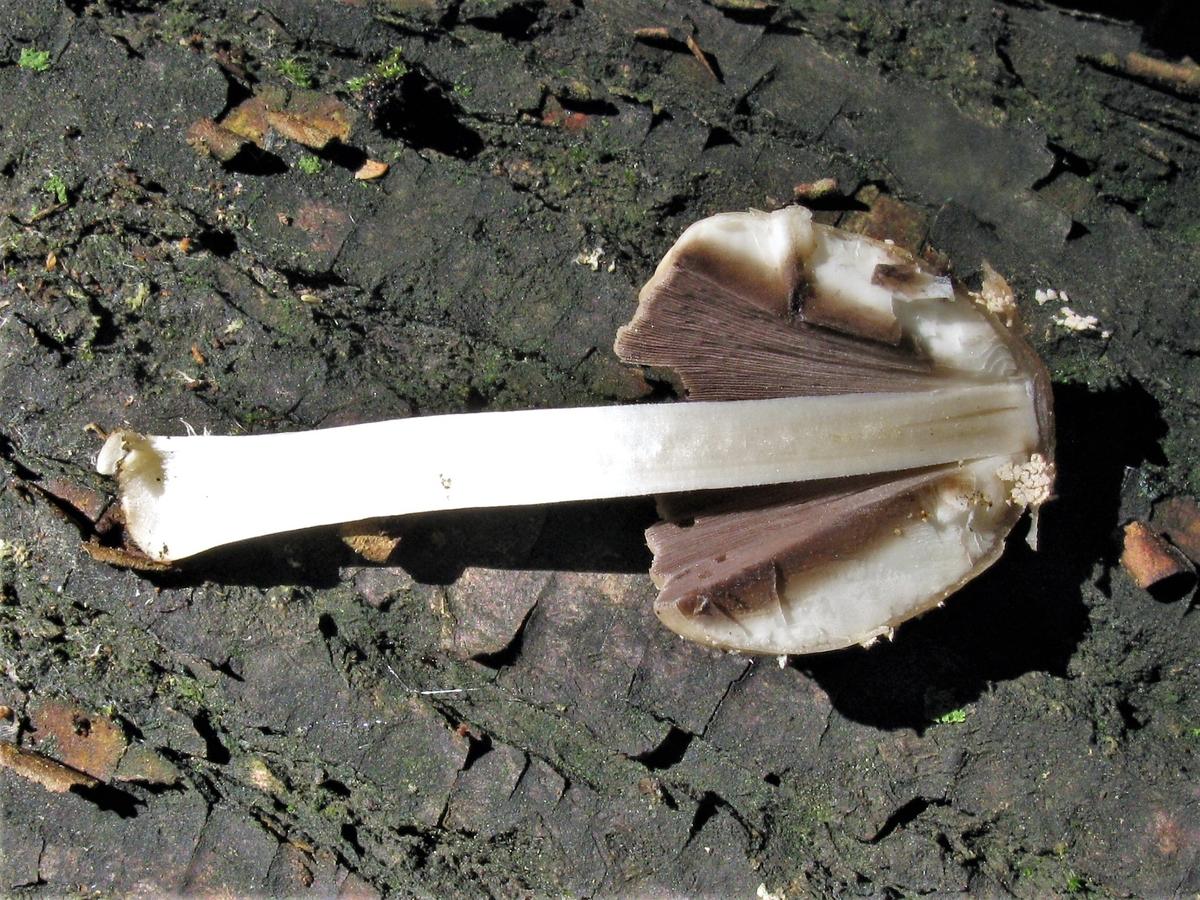 Coprinellus domesticus - Навозник домашний