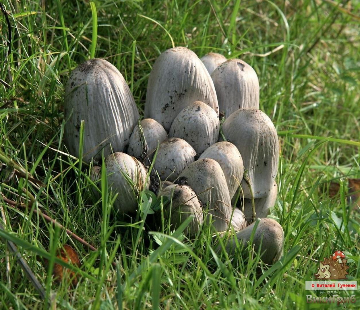 Coprinopsis atramentaria - Навозник серый