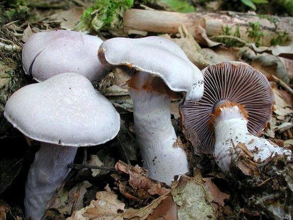 Паутинник бело-фиолетовый (Cortinarius alboviolaceus)