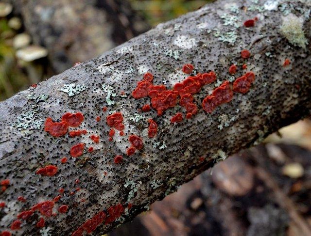 Цитидия ивовая (Cytidia salicina)