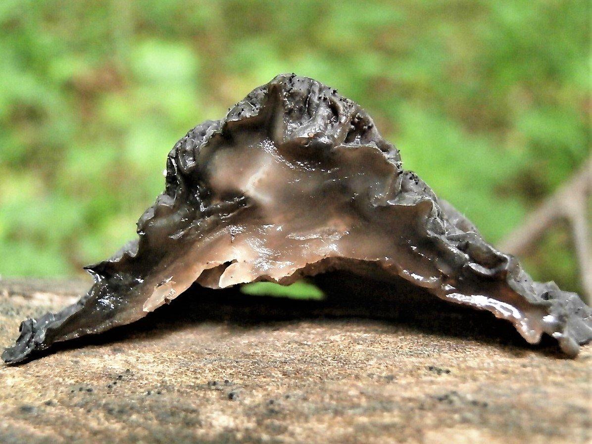 Эксидия чернеющая - Exidia nigricans