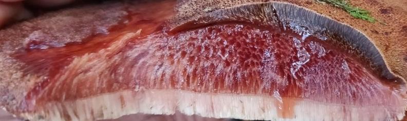 Печёночница обыкновенная - Fistulina hepatica
