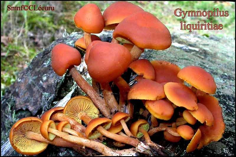 Gymnopilus liquiritiae