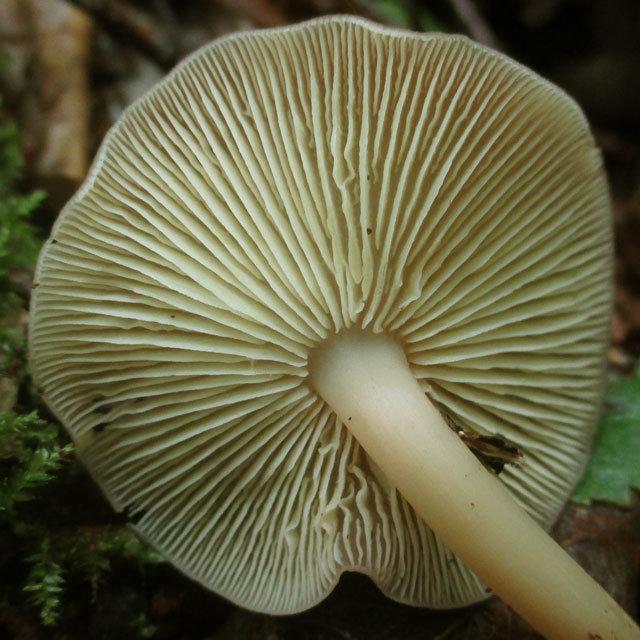 Гимнопус желтопластинчатый (Gymnopus ocior)