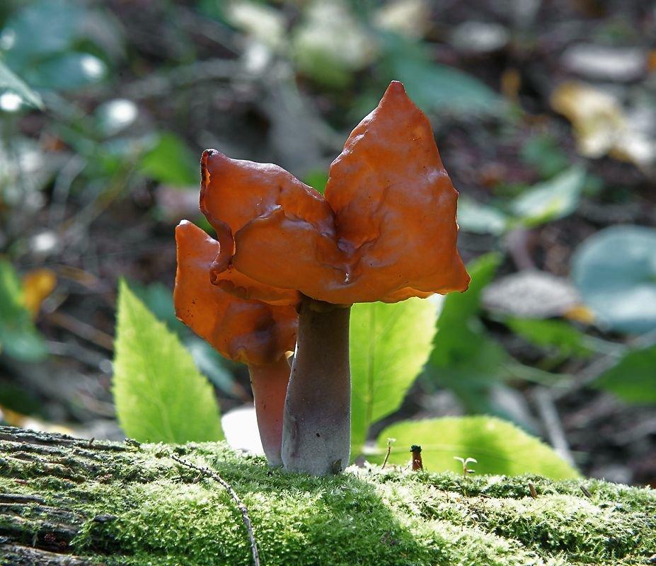 Гельвелла инфулоподобная (Gyromitra infula)