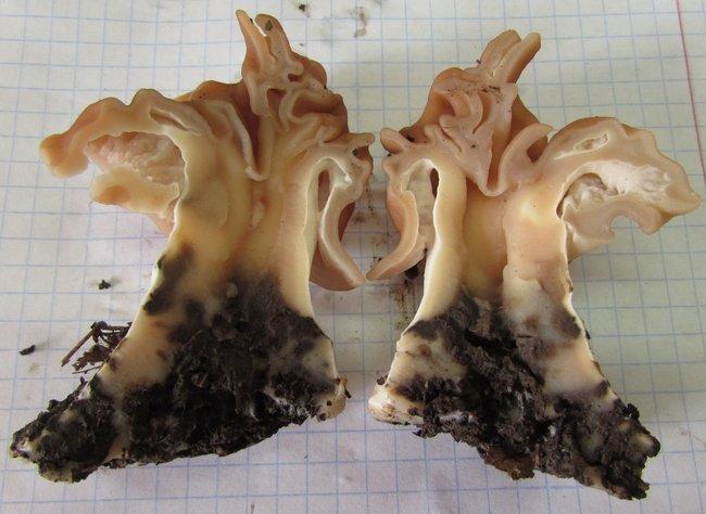 Gyromitra fastigiata