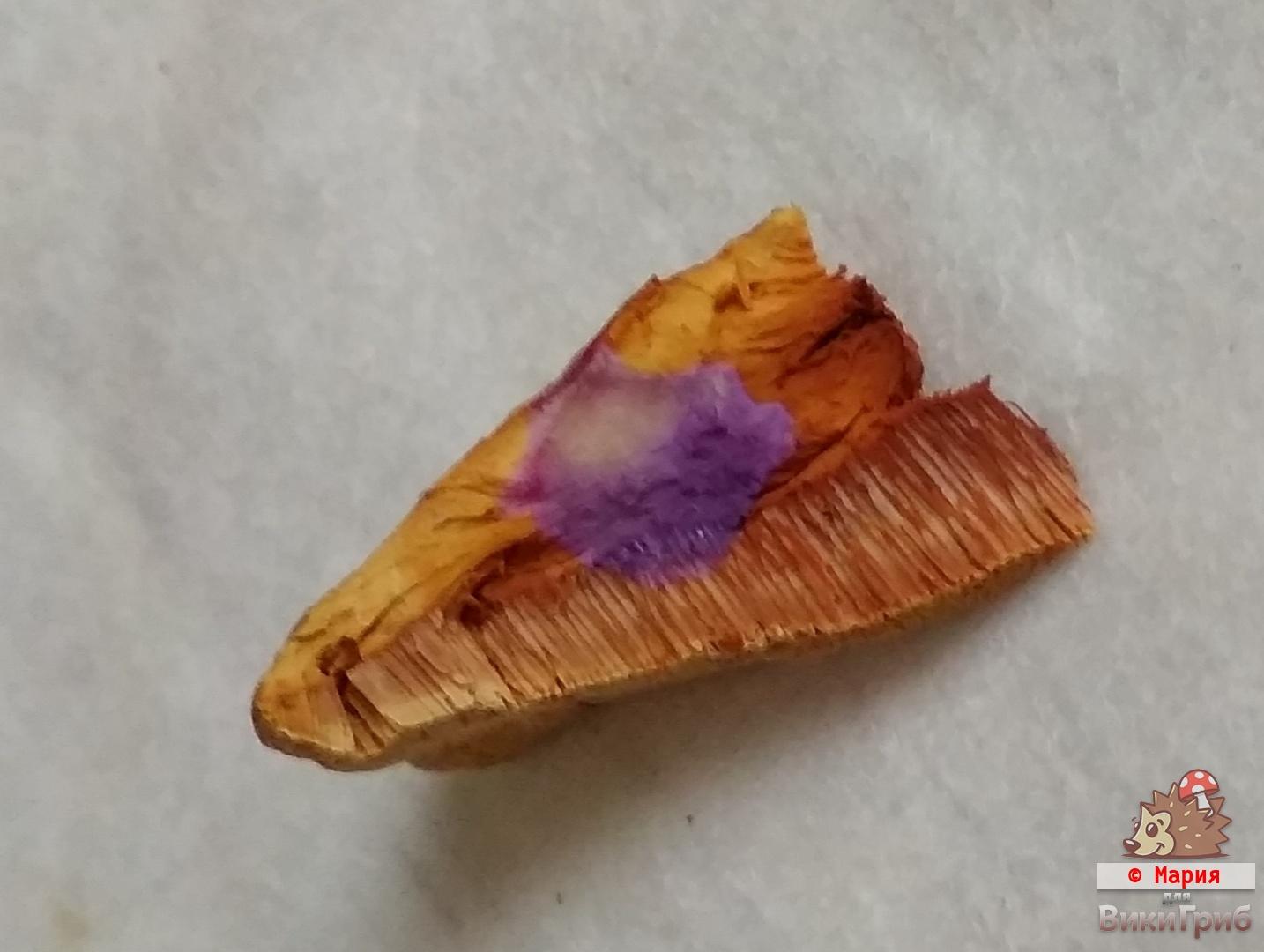 Гапалопилус красноватый - Hapalopilus rutilans