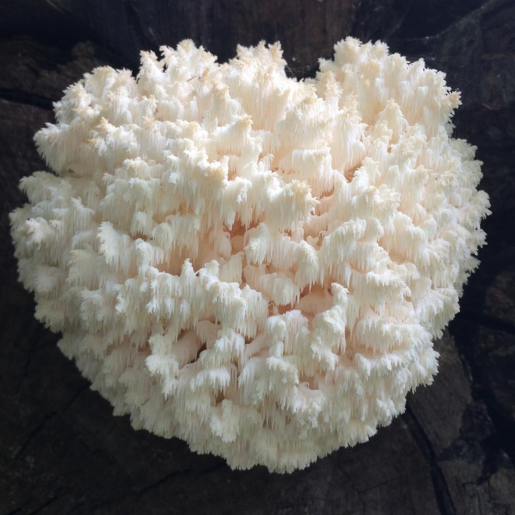 Ежовик коралловидный