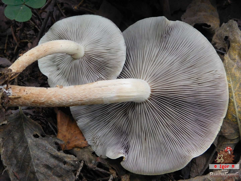 Hypholoma latertiium - Ложноопёнок кирпично-красный