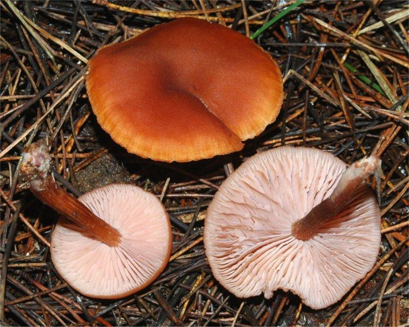 Лаковица ближайшая (Laccaria proxima)