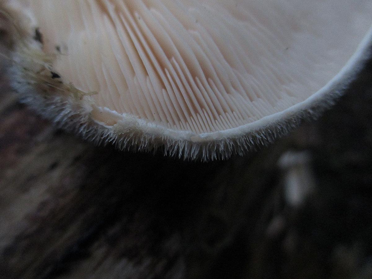 Lignomyces vetlinianus - Лигномицес Ветлинский