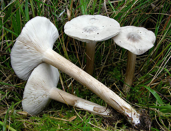 Меланолеука прямоногая (Melanoleuca strictipes)
