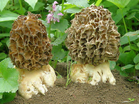 Сморчок толстоногий (Morchella crassipes)
