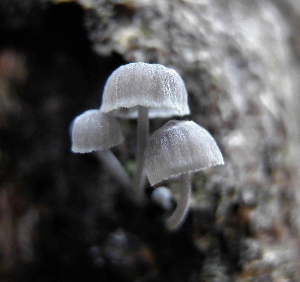 Мицена мелиевая - Mycena meliigena