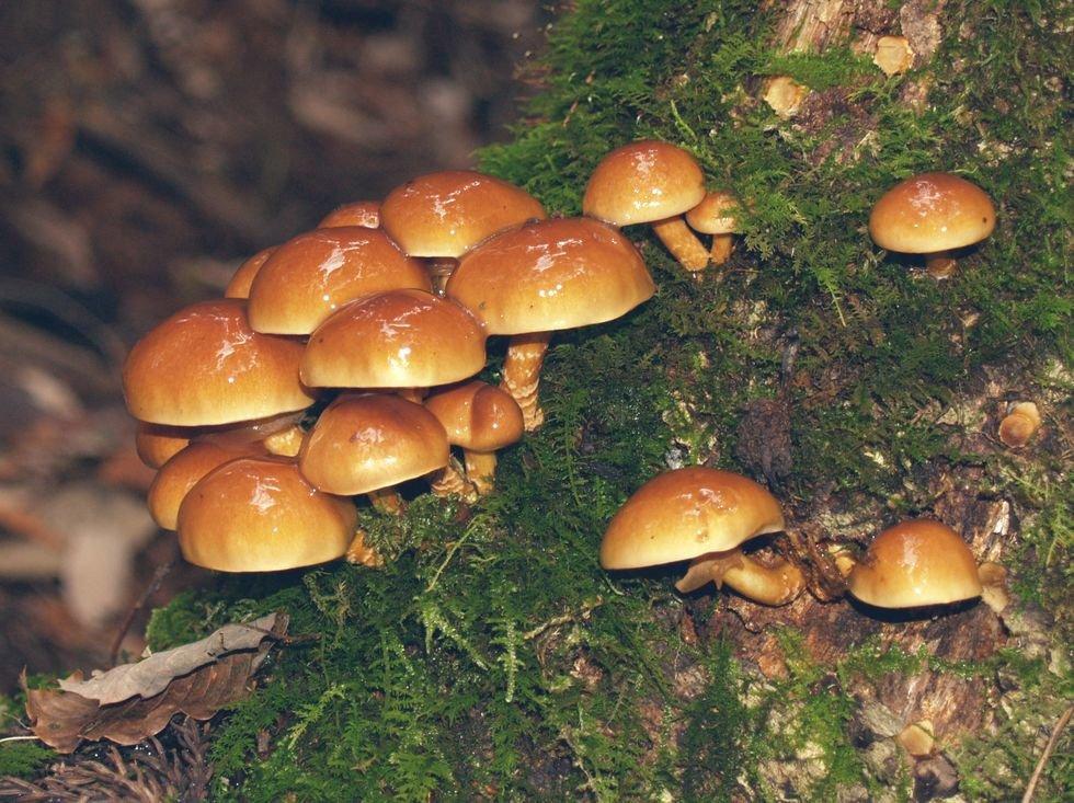 Чешуйчатка съедобная (Pholiota nameko)