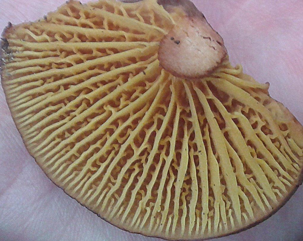Phylloporus pelletieri - Филлопорус розово-золотистый