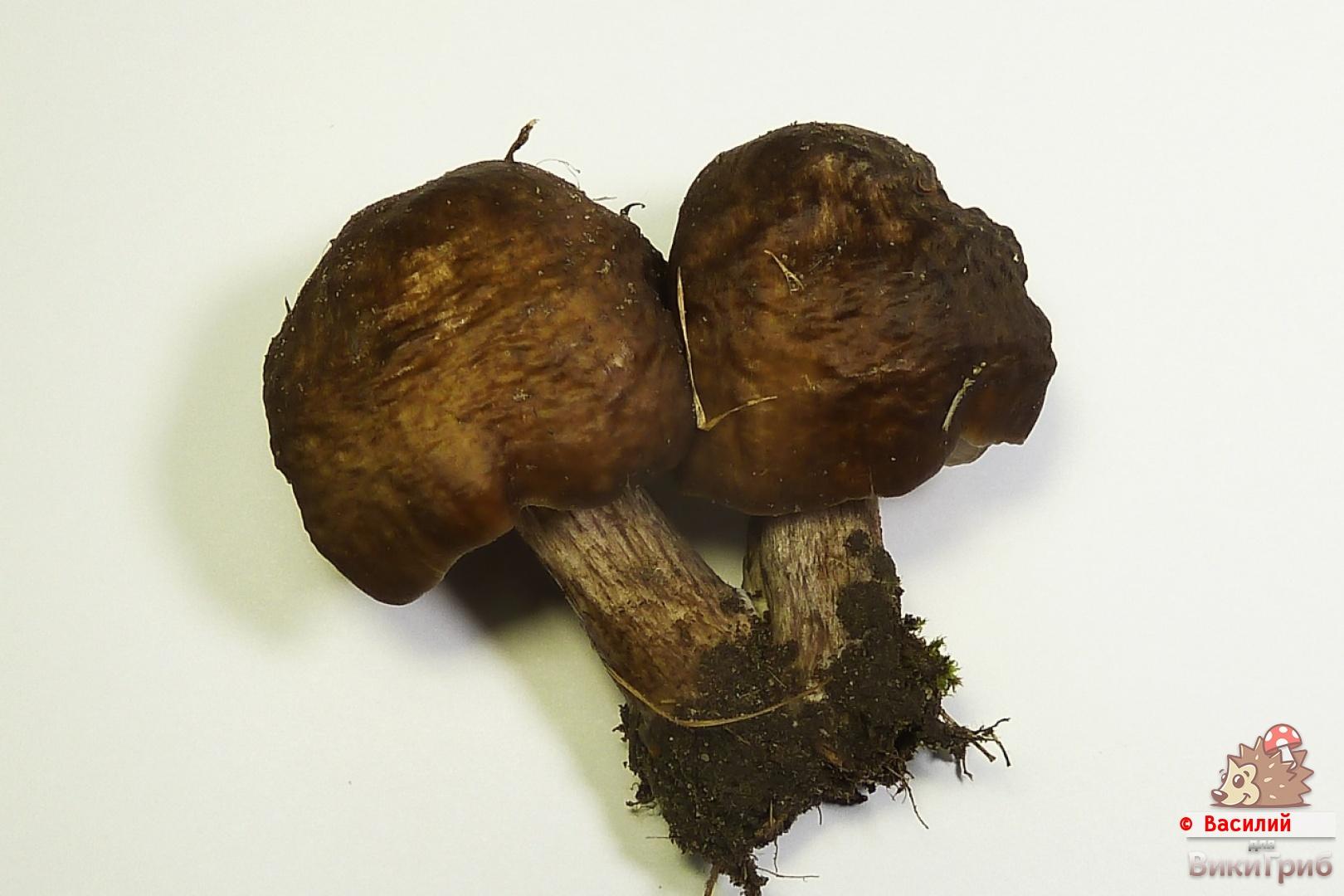 Pluteus cervinus - Олений гриб