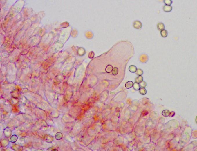 Плютей разноцветный - Pluteus variabilicolor