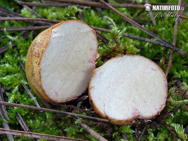 Трюфель обычный (Rhizopogon vulgaris)