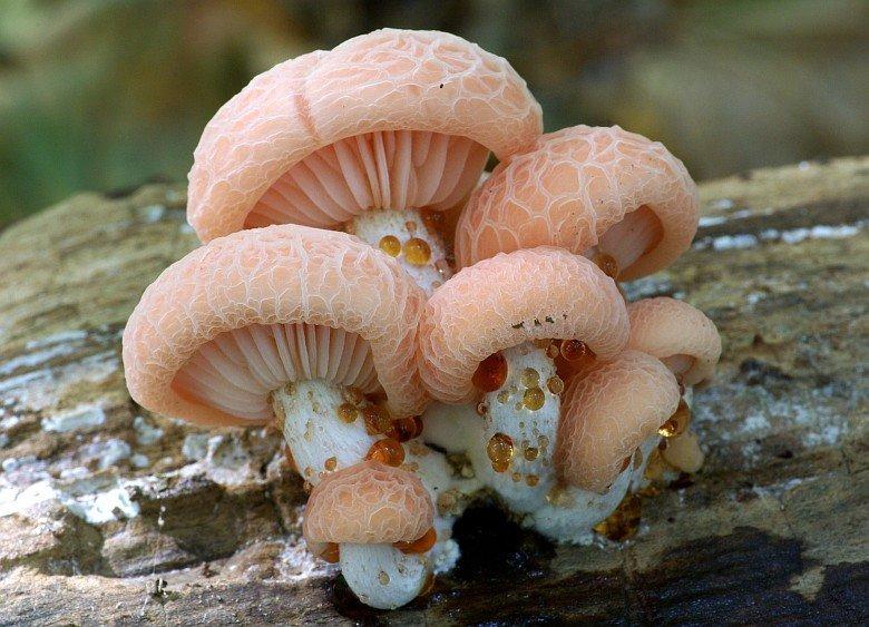 Родотус дланевидный