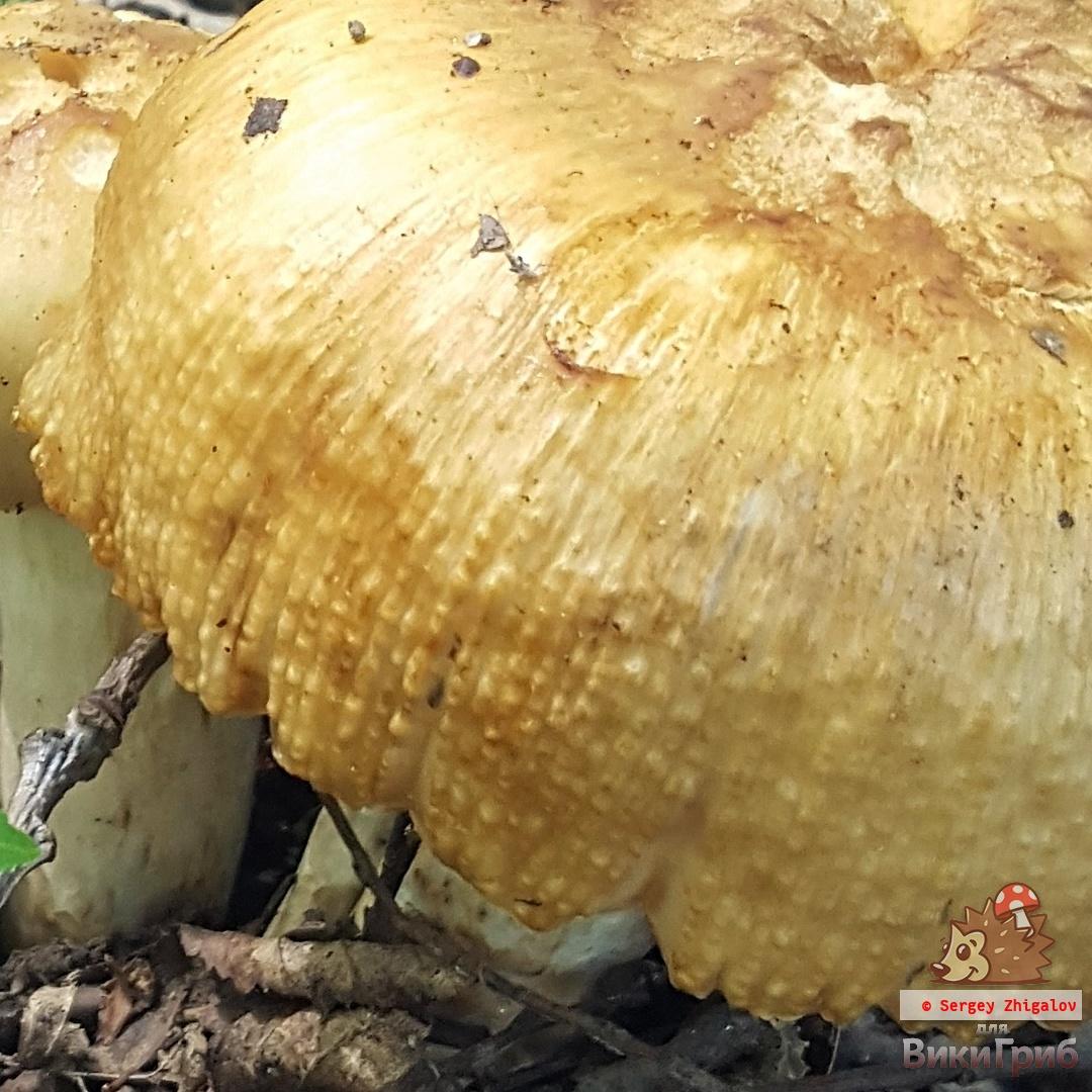 Russula foetens - Валуй