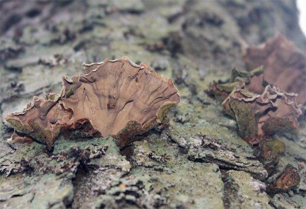 Стереум войлочковый (Stereum subtomentosum)