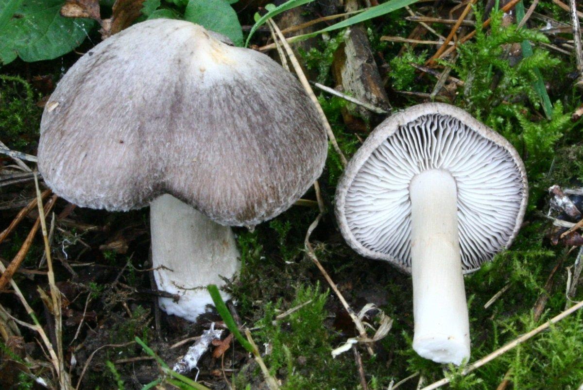Рядовка землисто-серая (Tricholoma terreum) фото и описание