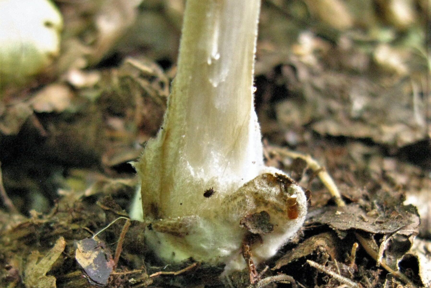 Volvariella caesiotincta - Вольвариелла серо-голубоватая