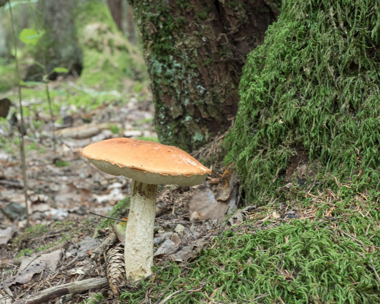 Подосиновик белоножковый Leccinum albostipitatum