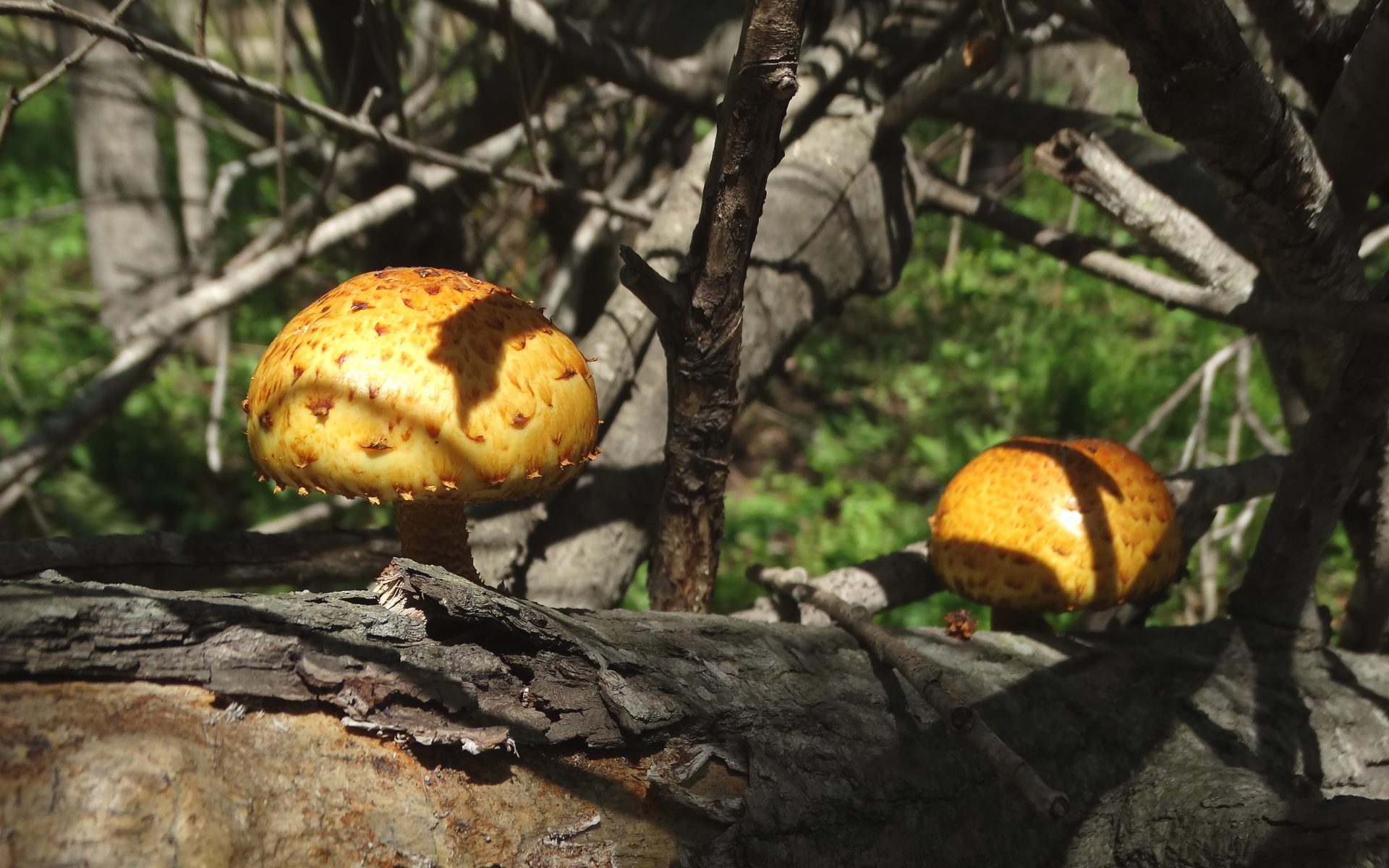 Чешуйчатка золотистая Pholiota aurivella
