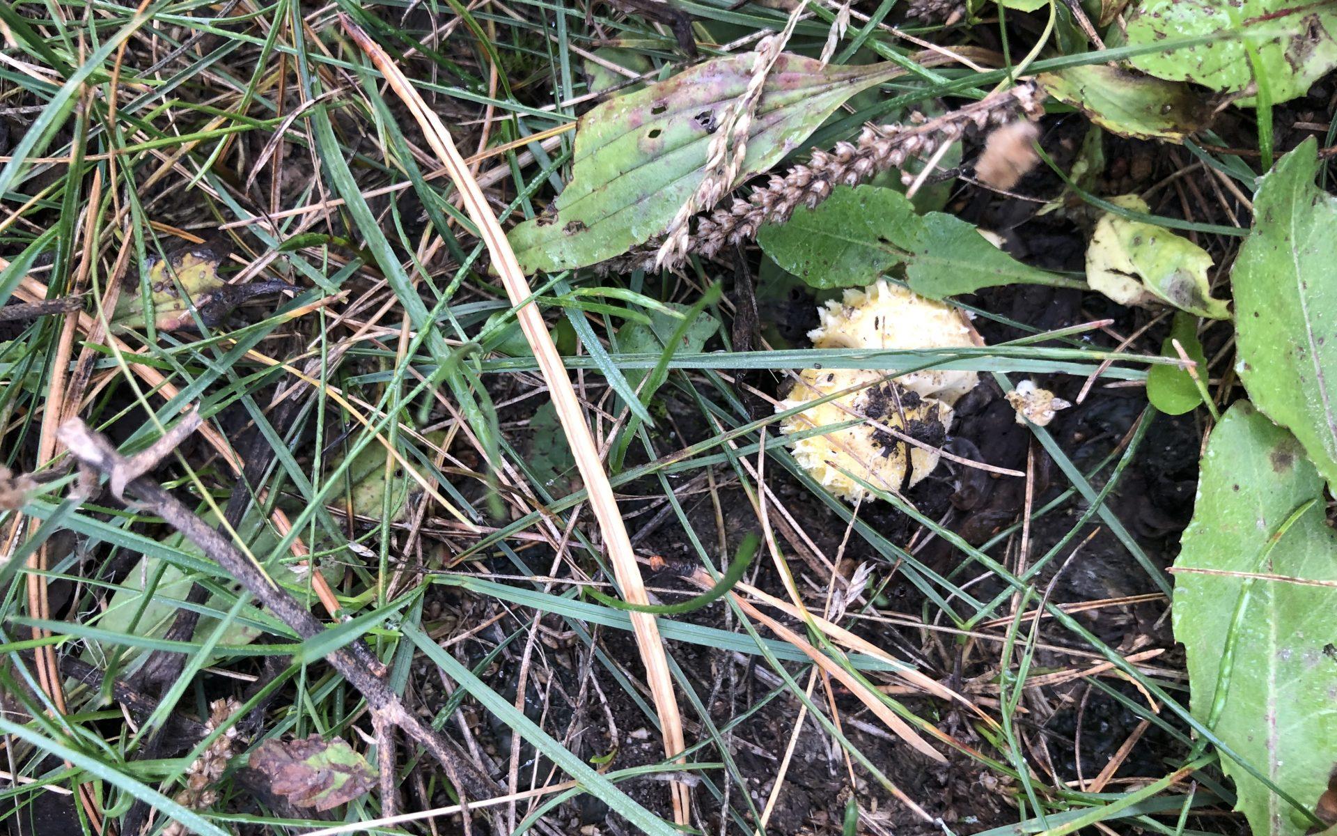 Флоккулярия соломенно-желтая Floccularia straminea