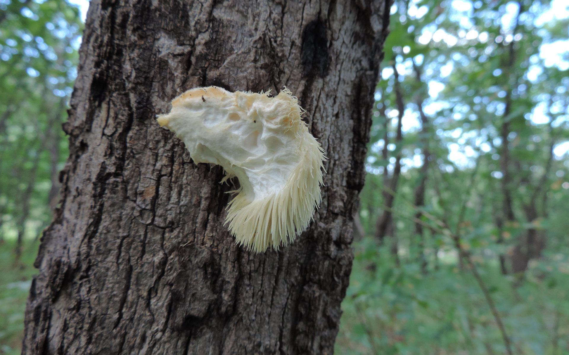 Ежовик гребенчатый Hericium erinaceus