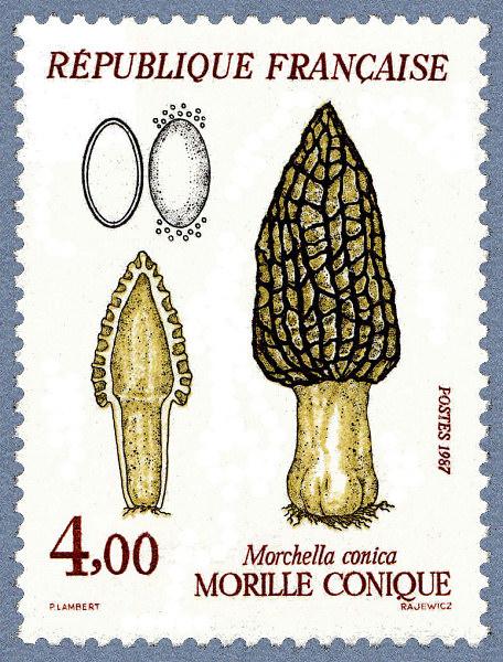 Сморчок съедобный Morchella esculenta