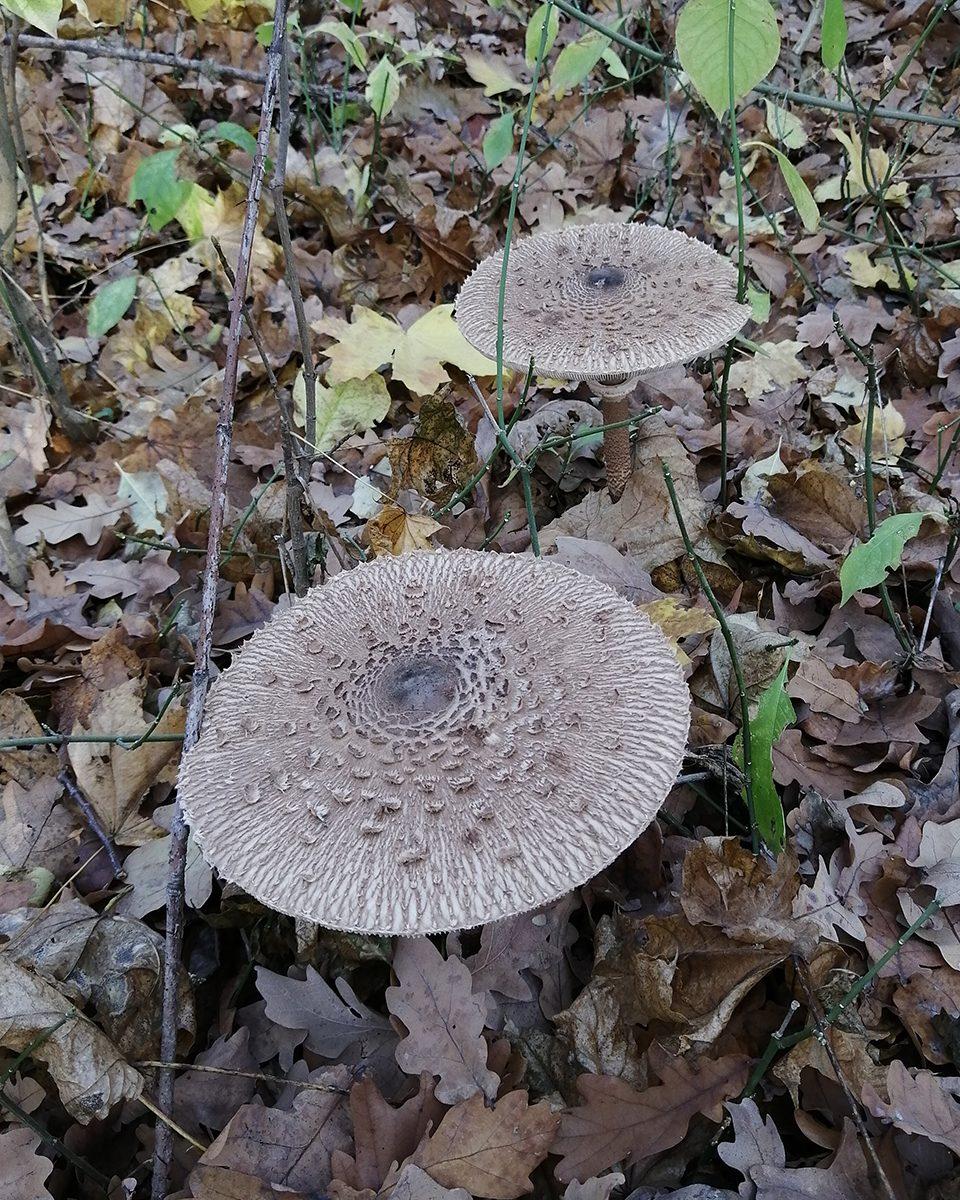 Зонтик пёстрый Macrolepiota procera