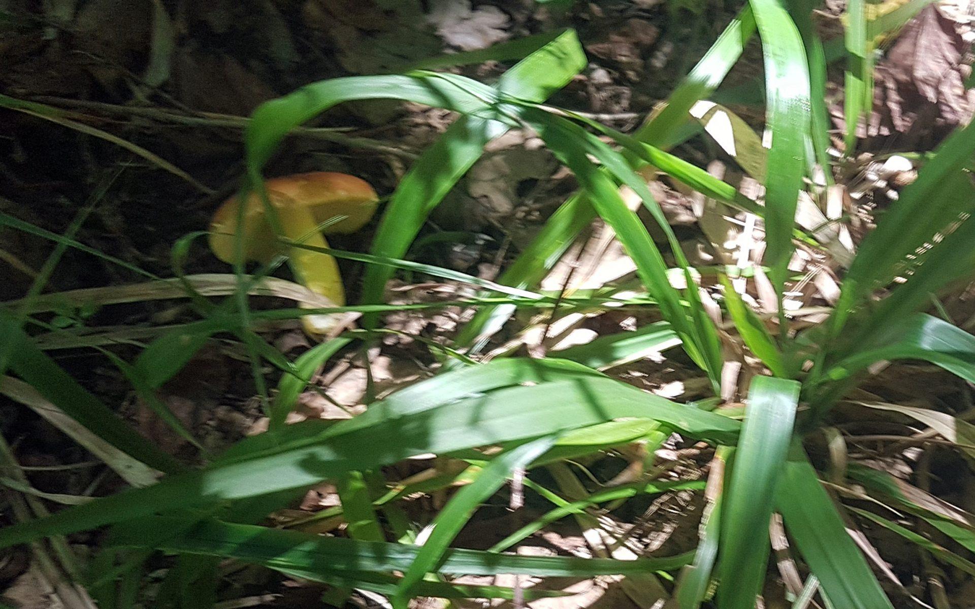 Сыроежка золотистая Russula aurea