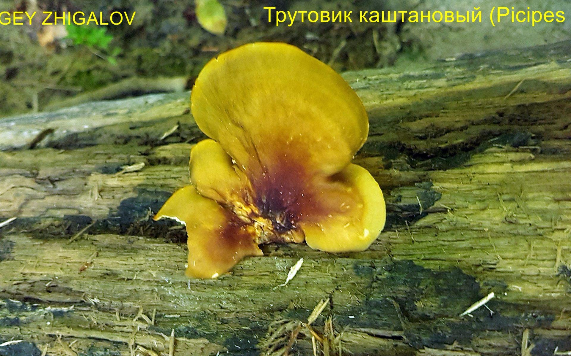 Трутовик каштановый Picipes badius